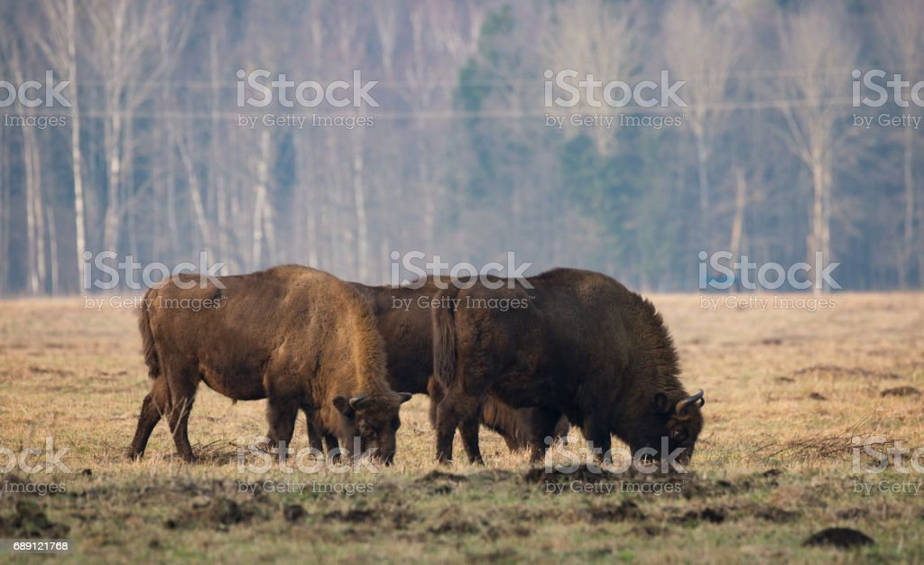 Several Big aurochs grazing on the field.Some large brown bison on the forest background.Brown bulls with big horns on the background of the forest. stock photo