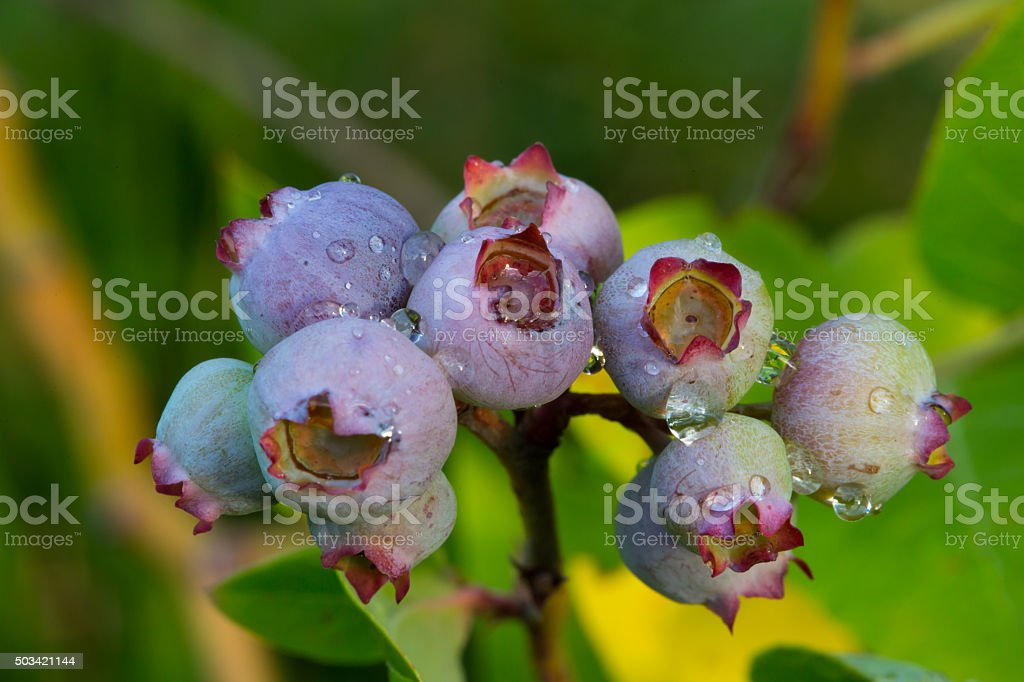 Several blueberry fruits (Vaccinium myrtillus) stock photo