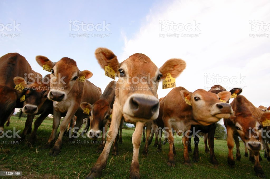 Several cows standing at the pasture stock photo