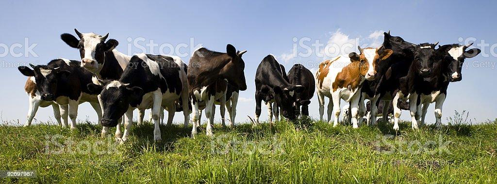 Several Dutch cows walking through a field royalty-free stock photo