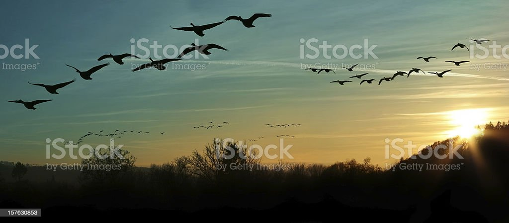 Several flocks of birds migrating at sunset stock photo