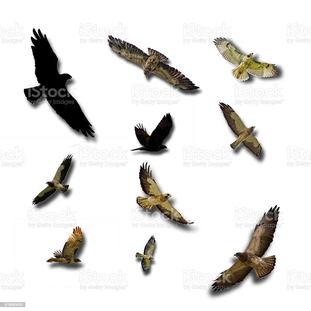 Several flying hawks with shadows on white stock photo