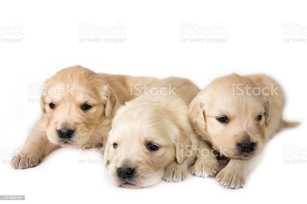 Several golden retriever puppies royalty-free stock photo