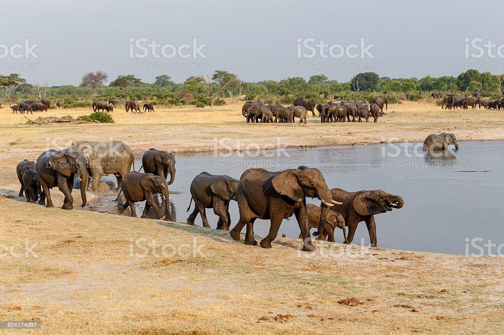 several heard of African elephants at waterhole stock photo