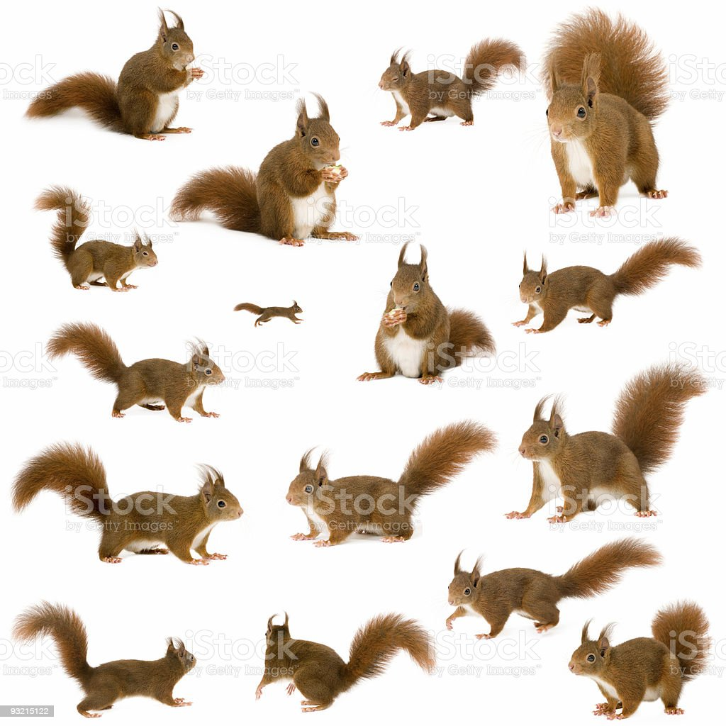Several images of a red squirrel in different poses on white stock photo