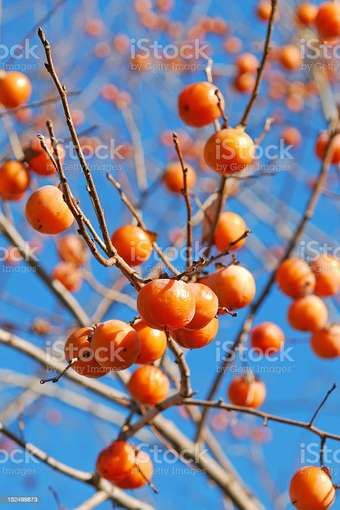 Several persimmons on a tree branch stock photo
