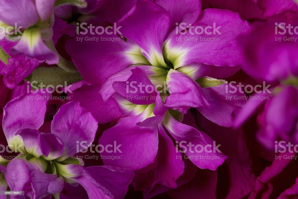 Several pink stock flowers in bouquet. stock photo