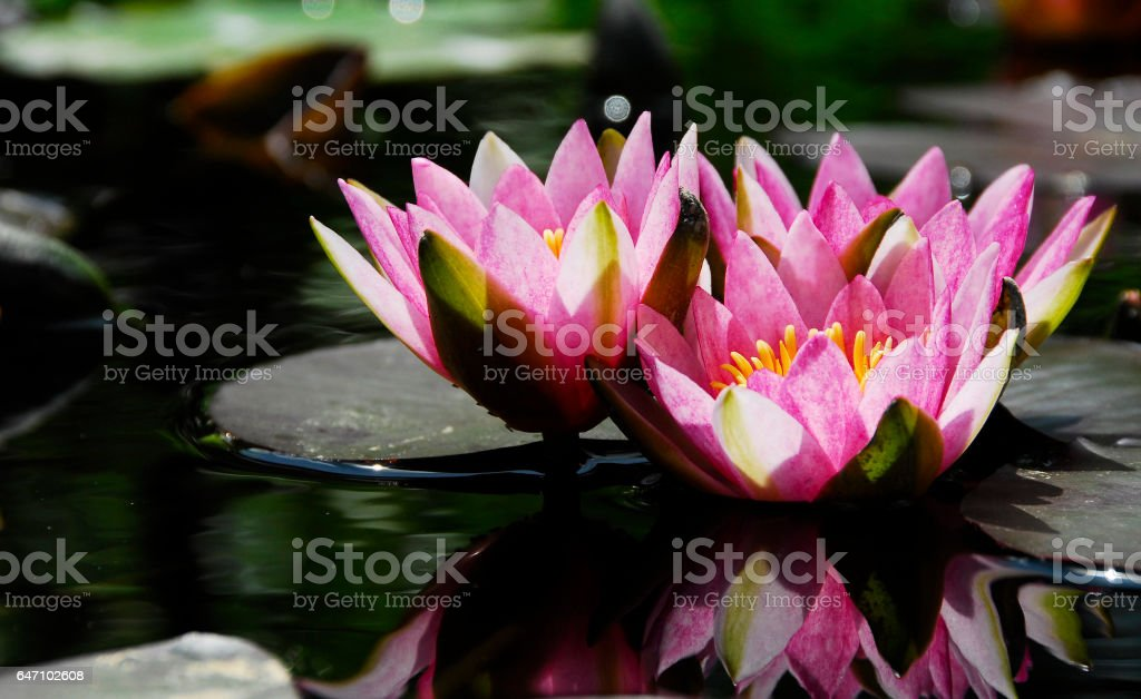 Several Pink Water lilies stock photo