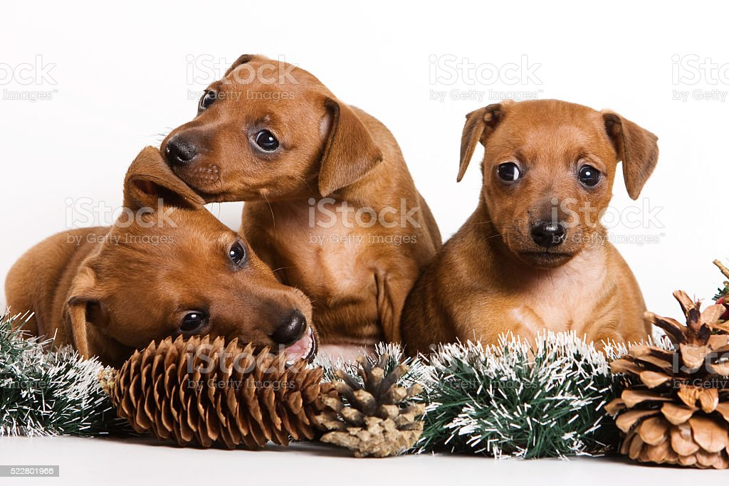 Several Red pinscher puppy and New Year (isolated on white) stock photo