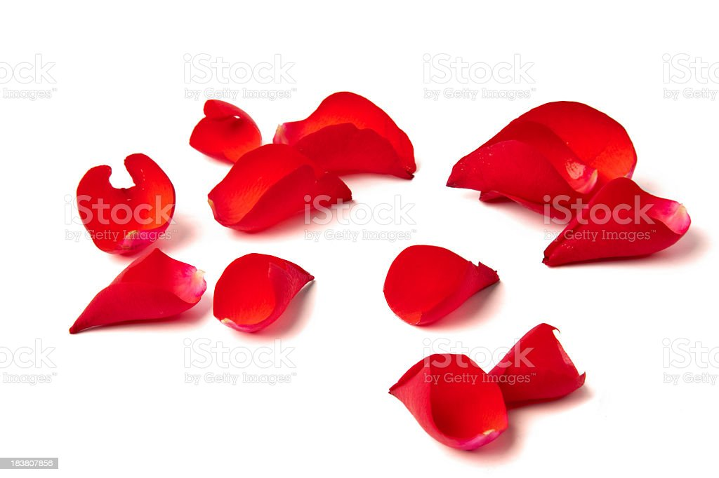 Several red rose petals against white background stock photo
