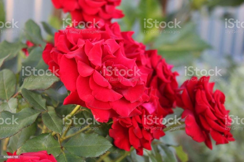 Several red roses on the bush in the garden. stock photo