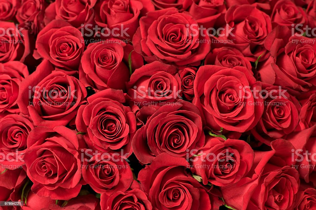 Several red roses wallpaper background stock photo