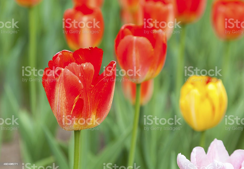 several red tulips royalty-free stock photo