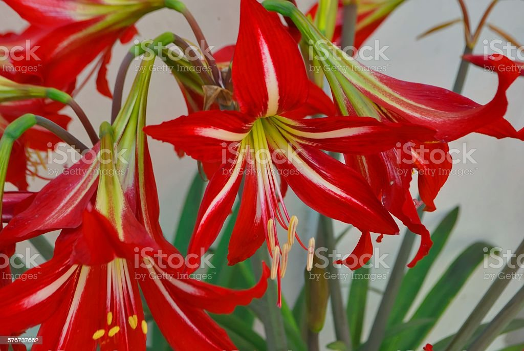 Several red-white lily stock photo