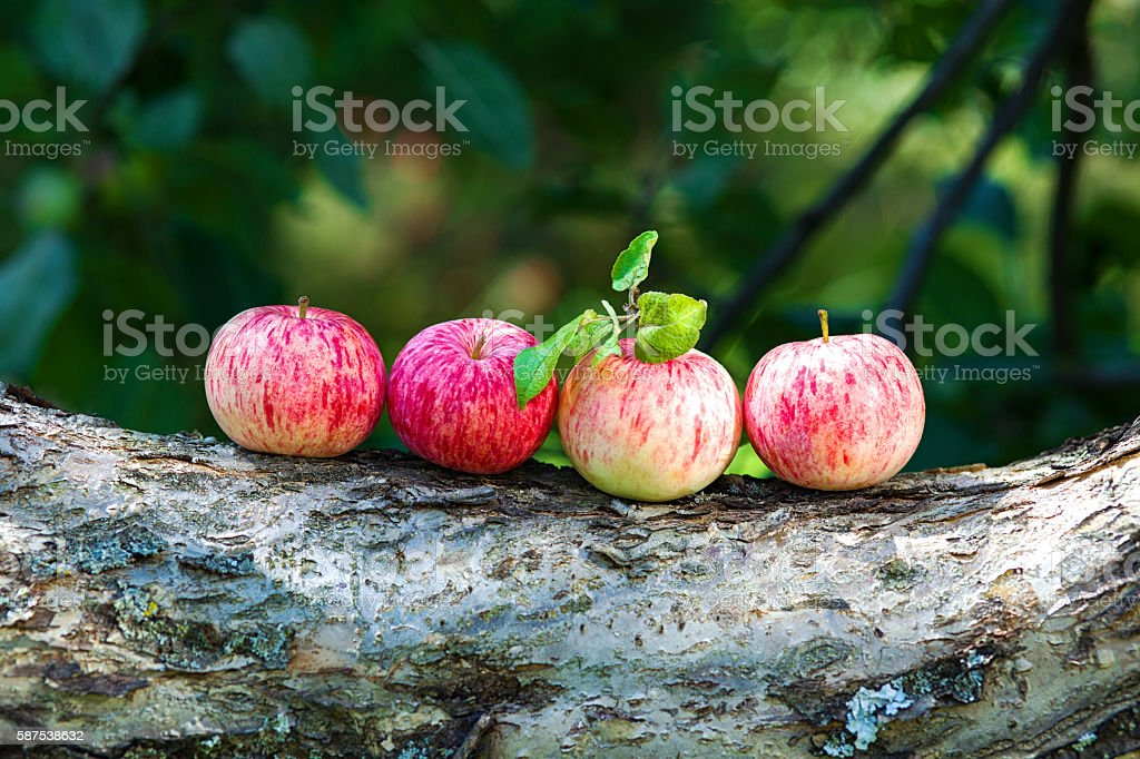Several ripe apples lying on a trunk in summer garden stock photo