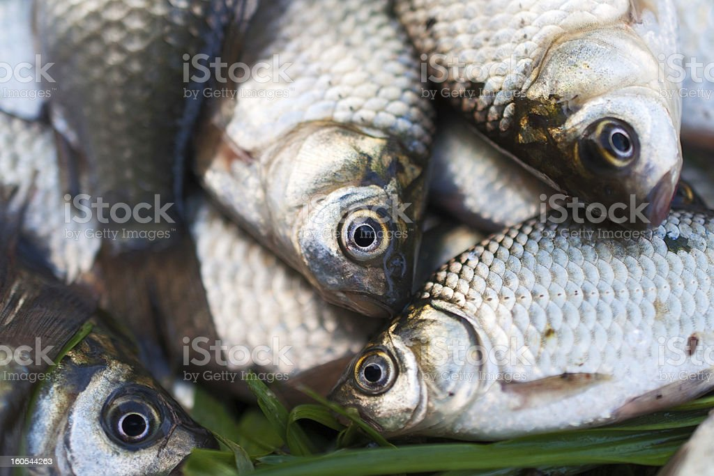Several river crucian on the grass royalty-free stock photo