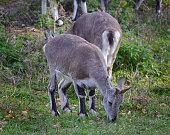Several sheeps (Pseudois nayaur) eat grass