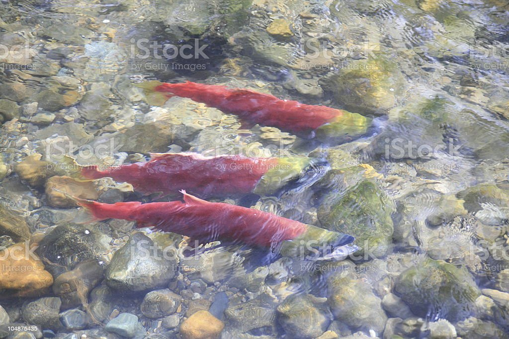 Several Sockeye Salmon in Adams River near Chase, BC. royalty-free stock photo