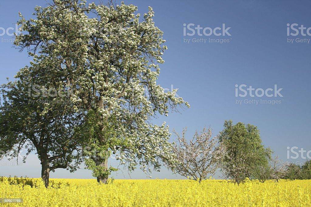 Several Spring Trees in Yellow Field stock photo