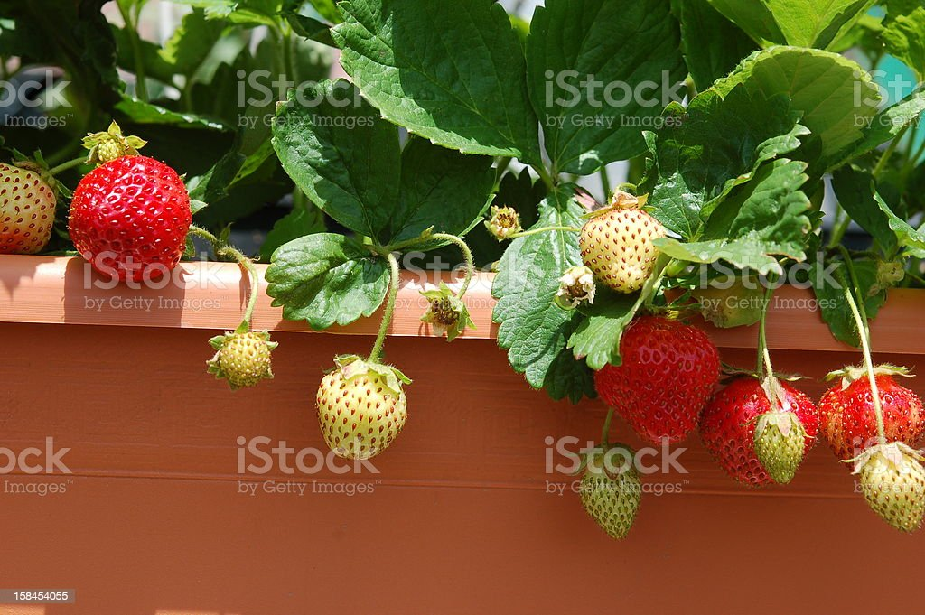 Several strawberries hanging from a bush stock photo