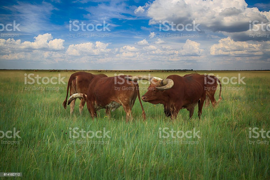 Several Watusi in Steppe stock photo