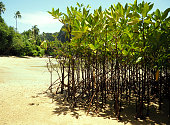 Several young mangrove trees on the background of the beach