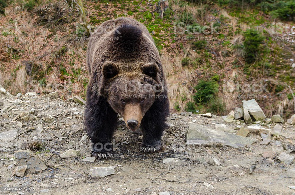 Severe look of a brown bear stock photo