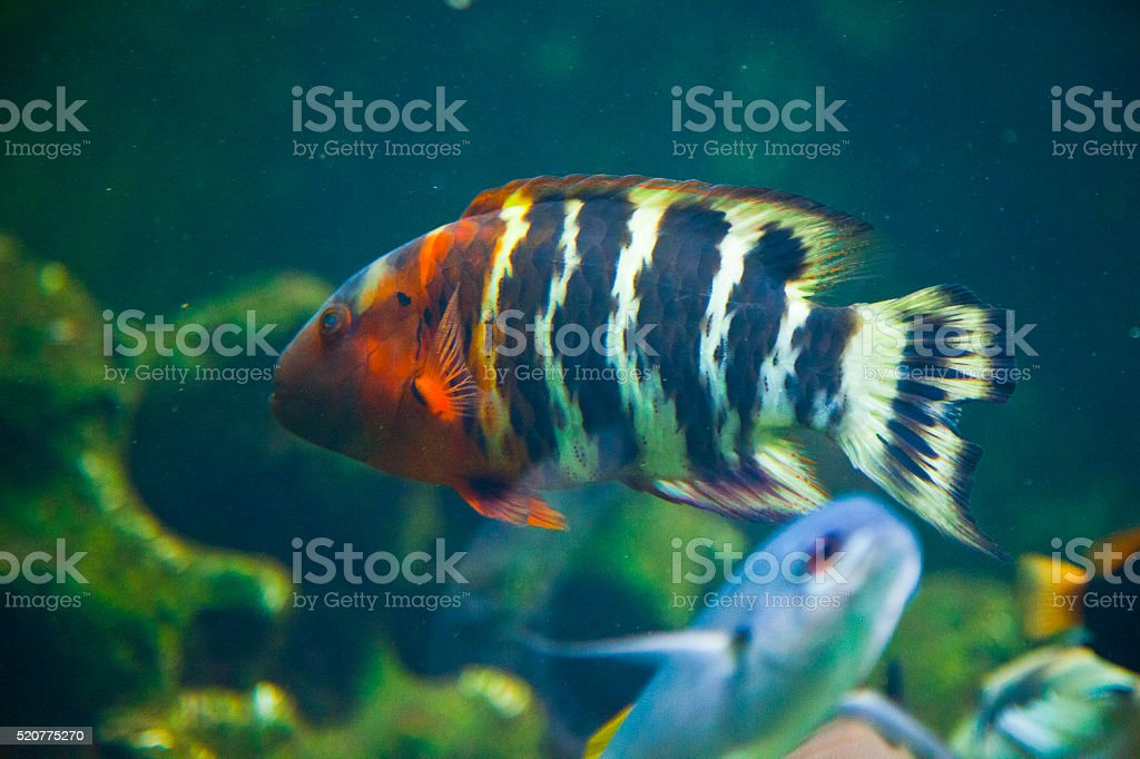 Severum Heros severus stock photo