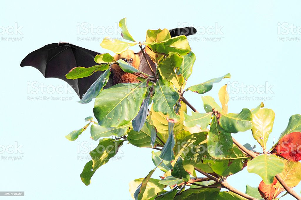 Seychelles flying fox approaches the branch stock photo