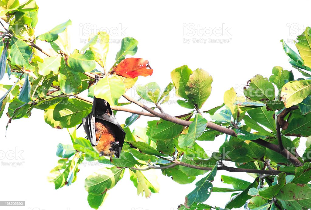 Seychelles flying fox hanging on a branch and washes stock photo