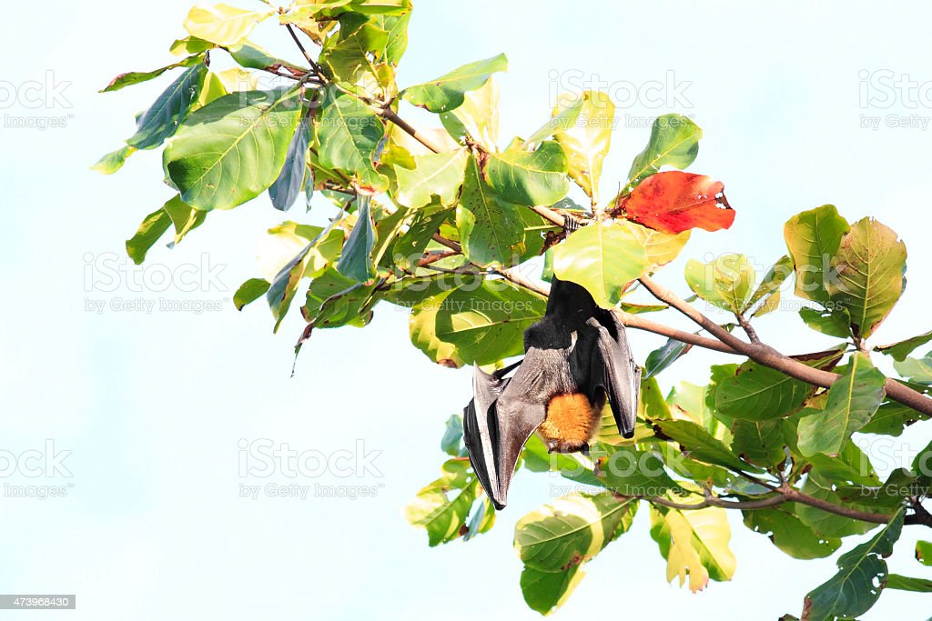 Seychelles flying fox hanging on a branch stock photo