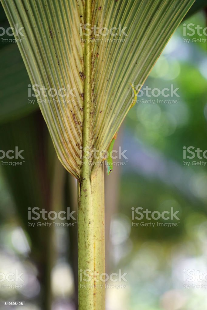 Seychelles gecko hiding behind palm leaf stock photo