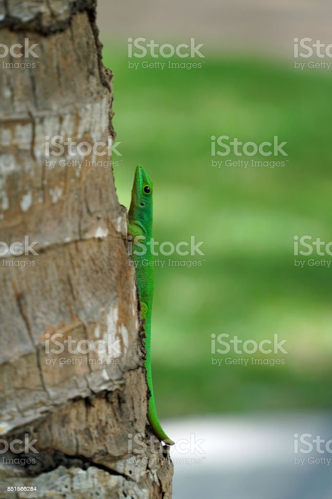 Seychelles Gecko on palm tree trunk stock photo