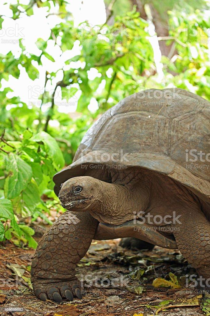 Seychelles Giant Tortoise On Curieuse Island stock photo