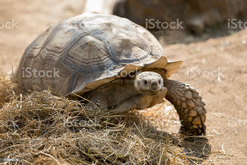 Seychelles giant tortoise (Aldabrachelys gigantea) stock photo