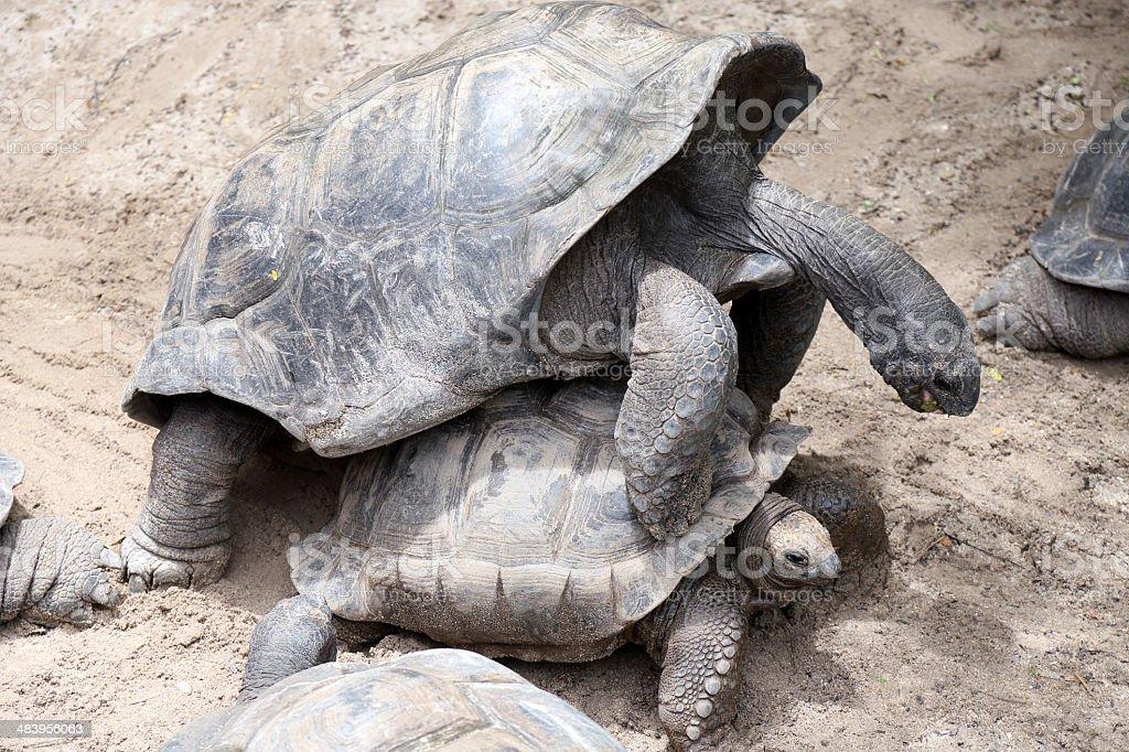 Seychelles giant tortoises mating stock photo