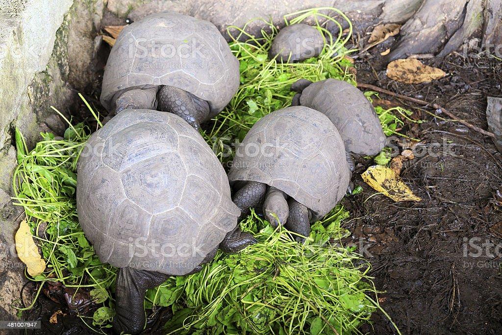 Seychelles Giant Tortoises royalty-free stock photo