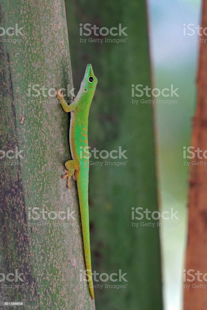 Seychelles green gecko on a trunk stock photo