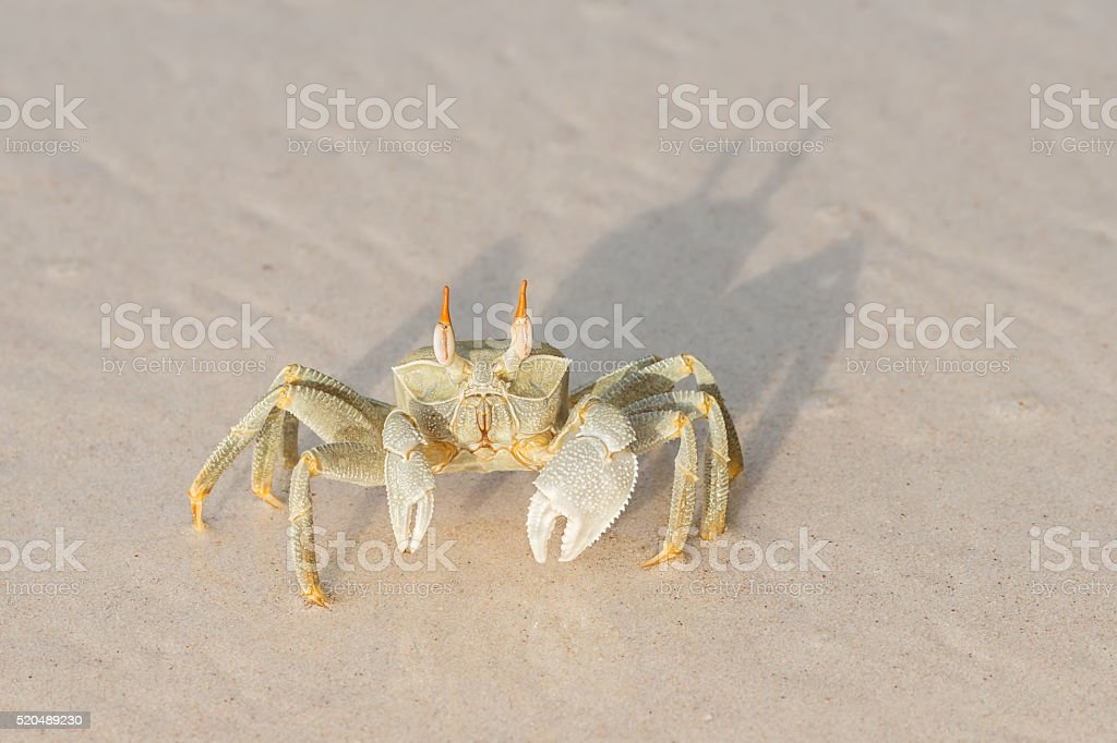 seychelles ocypode ceratophthalmus also called ghost crab stock photo