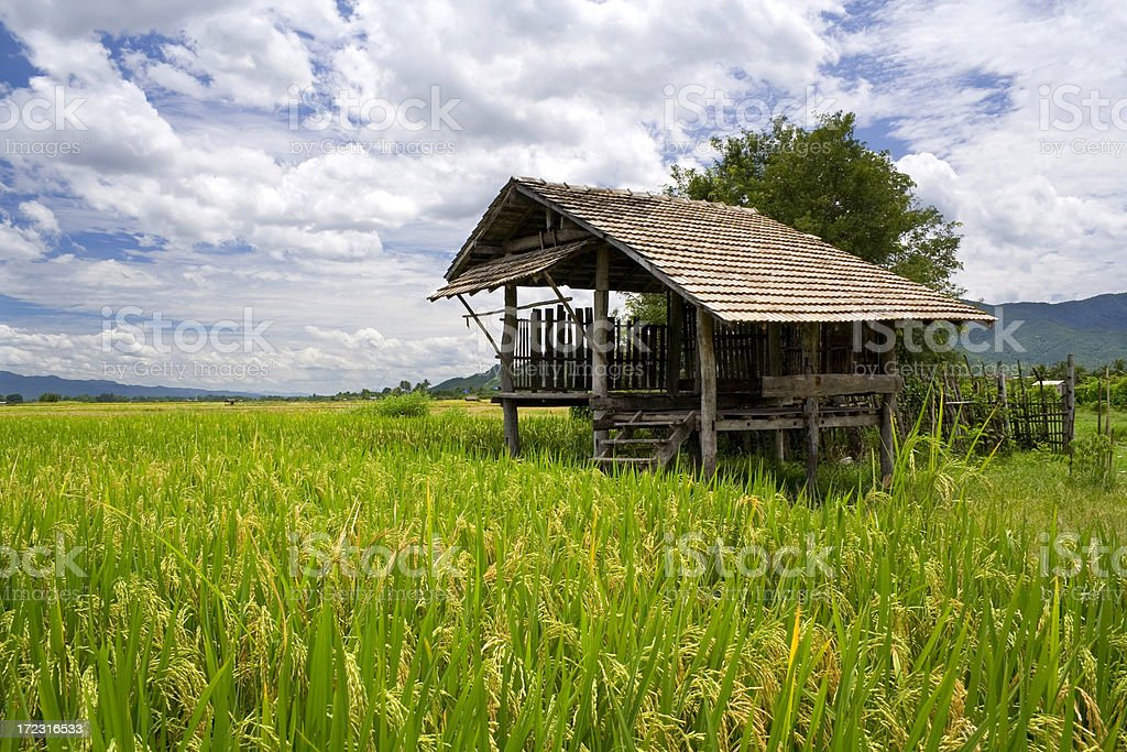 Shack and paddy field royalty-free stock photo