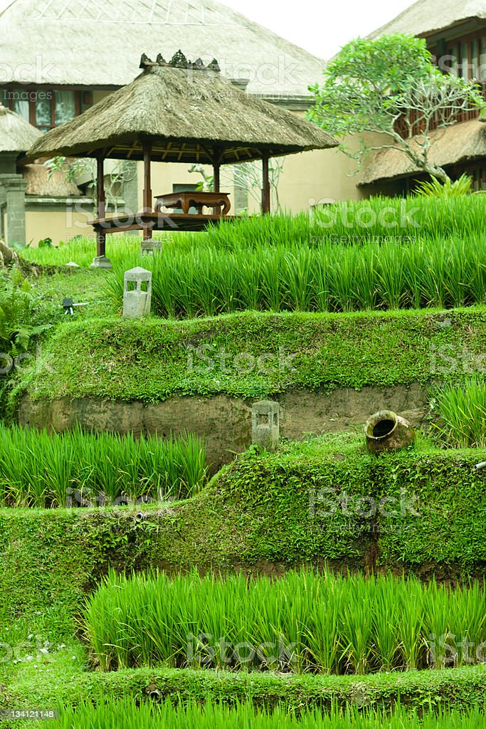 shack in rice paddy royalty-free stock photo