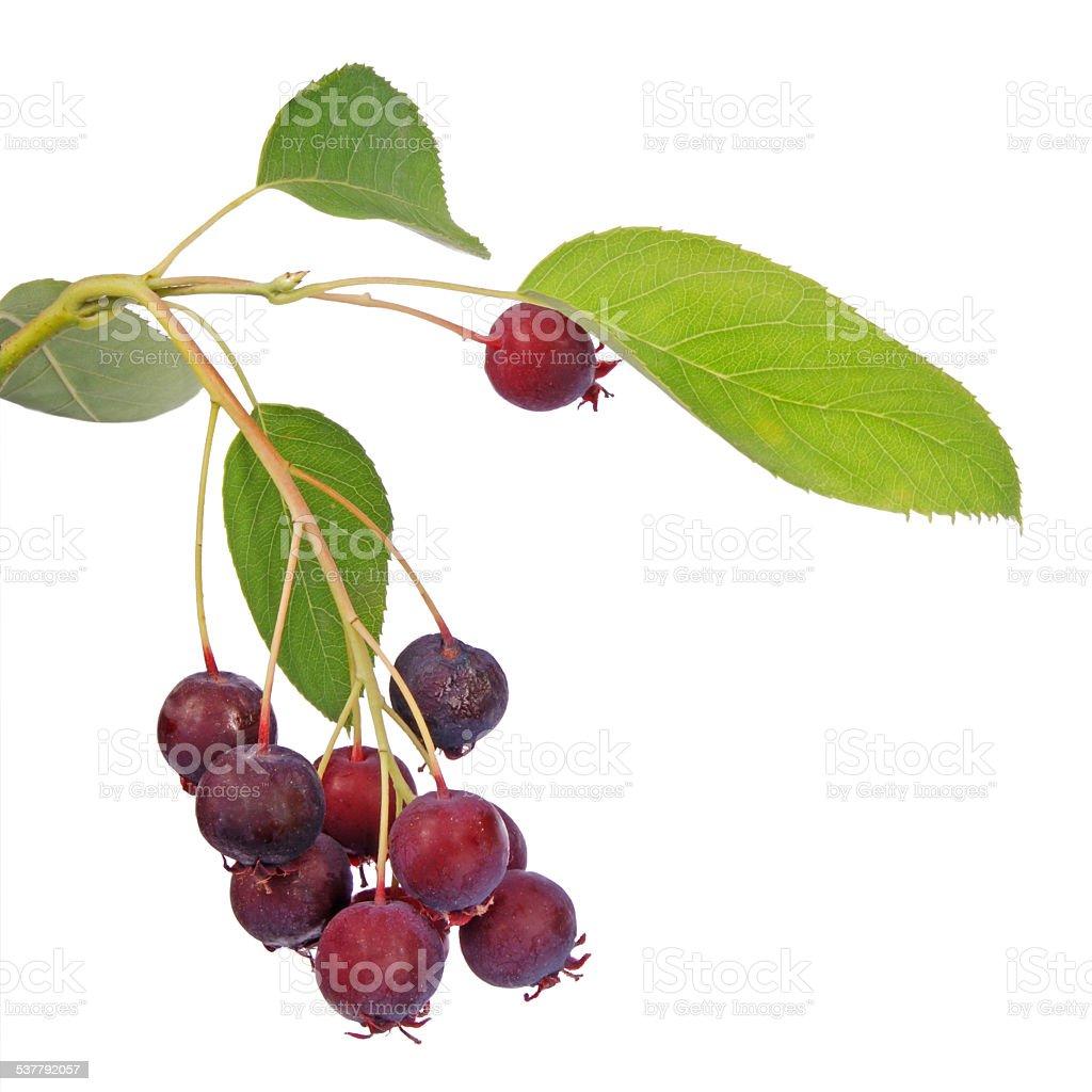 Shadberry. Amelanchier ovalis. stock photo