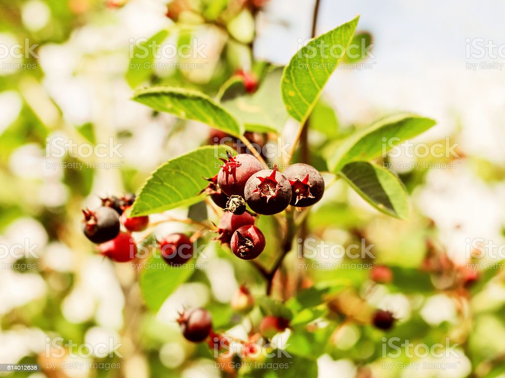 Shadberry summer ripe stock photo