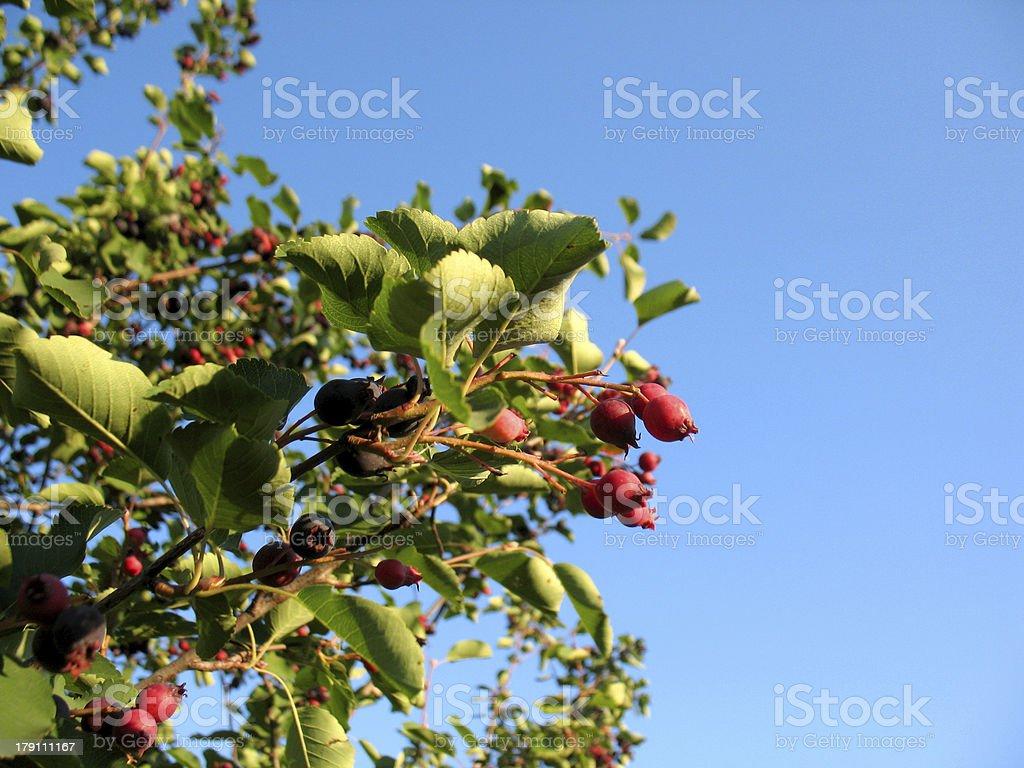 shadberry tree stock photo