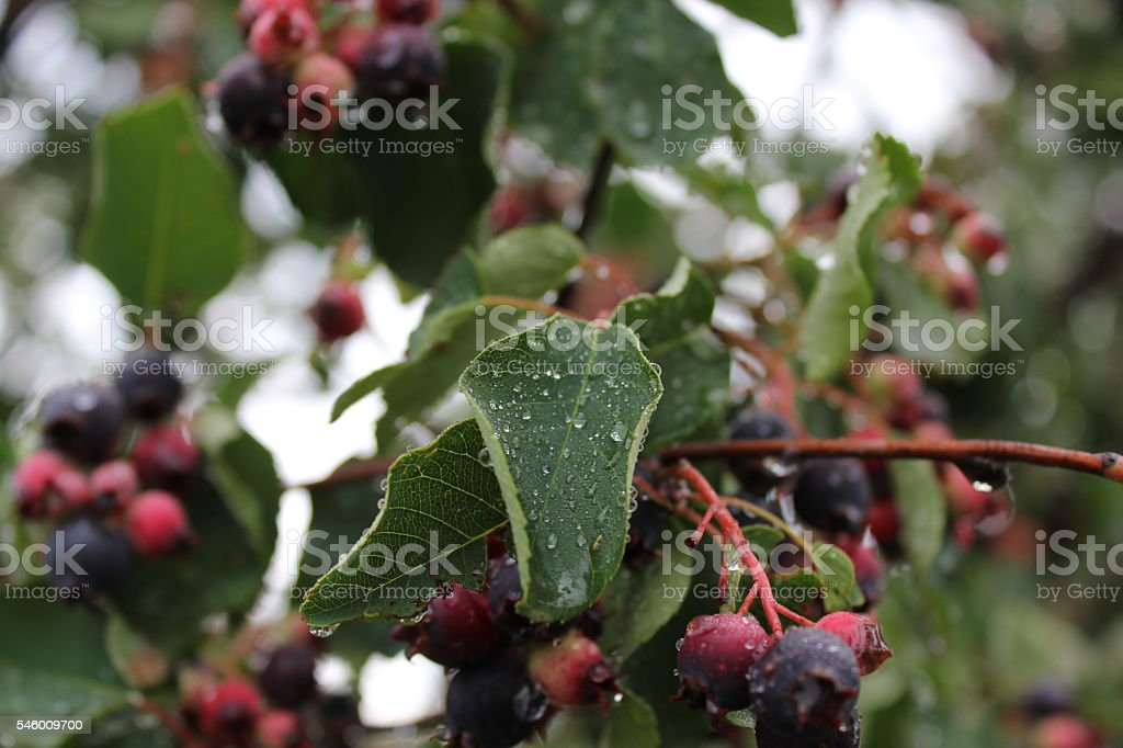 Shadberry with water drop at leaves and berrys 20044 stock photo