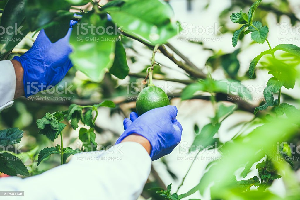 shaddock fruit hold by  researcher hand stock photo