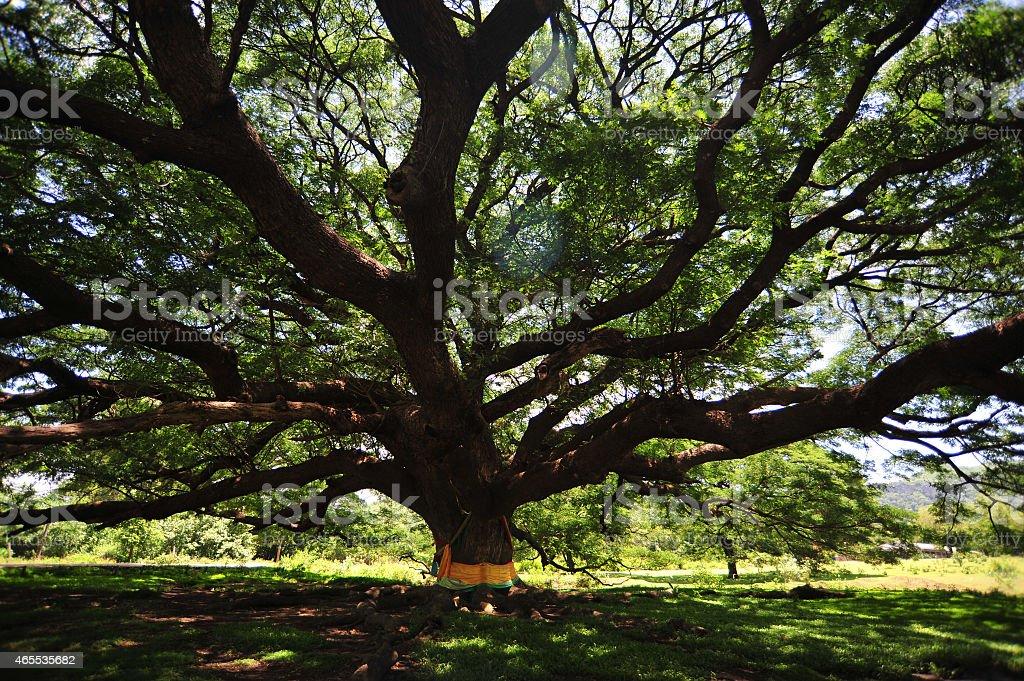 Cień stary Wielkie drzewo z liści zielony Wiosna zbiór zdjęć royalty-free
