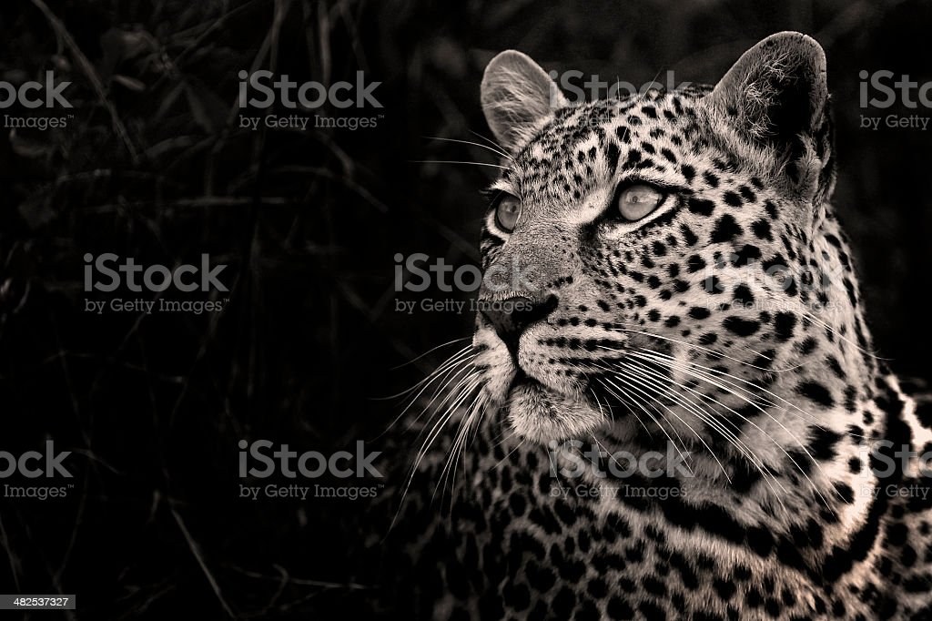 Shadow Leopard in Black and White stock photo