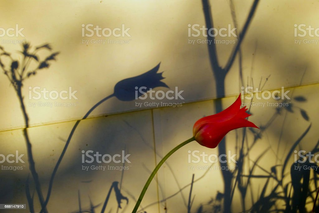 Shadow of a Tulip stock photo