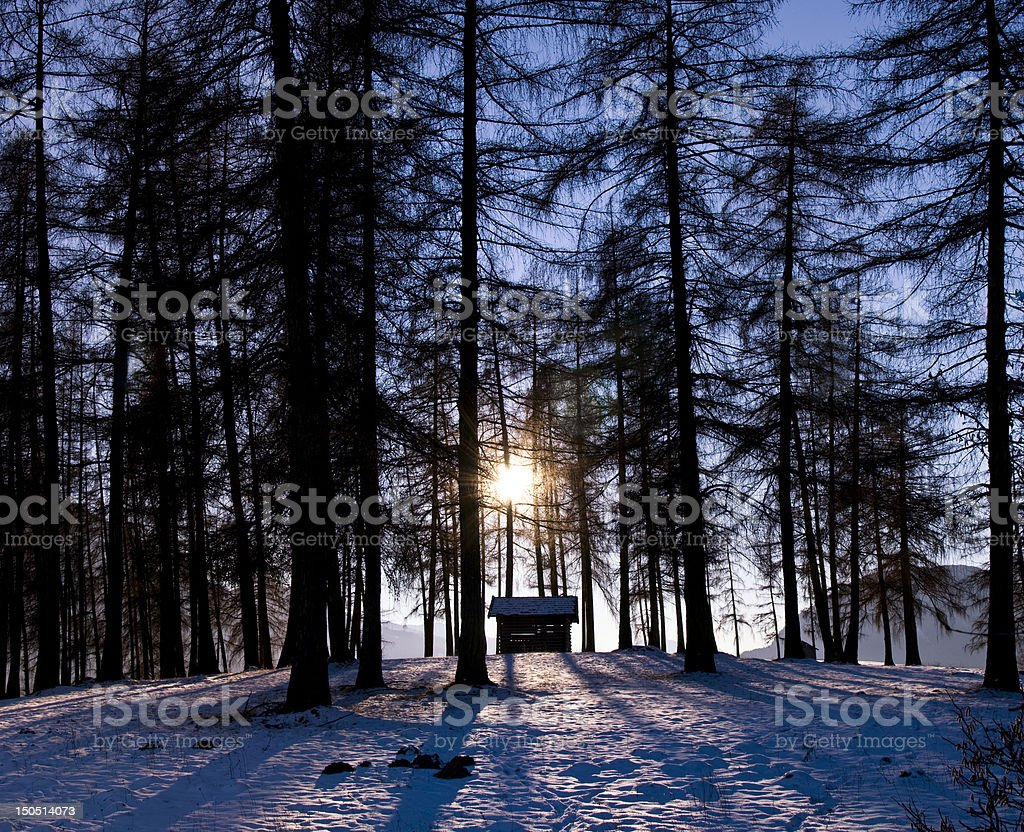 Shadow of the warm violet sun through big larch stock photo